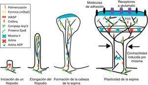 Mecanismos reguladores de actina durante el desarrollo las espinas dendríticas. Modificado de Hotulainen y Hoogenraad23, 2010.