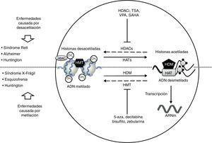 Desórdenes neurológicos y alteraciones epigenéticas. En condiciones normales las enzimas HAT acetilan histonas para una correcta transcripción del ADN; en cambio las enzimas HDAC desacetilan histonas, lo que puede dar lugar a padecimientos como Rett, Alzheimer y Huntington. Sustancias como HDACi, TSA, VPA, SAHA inhiben las enzimas HDAC y son usadas en el tratamiento de dichas patologías. Por otro lado, en condiciones normales las enzimas HDM desmetilan el ADN, permitiendo su correcta transcripción; en cambio las enzimas HMT metilan el ADN, provocando padecimientos como X-frágil, esquizofrenia y Huntington. Sustancias como 5-aza, decitabina, bisulfito y zebularina inhiben las enzimas HMT y son usadas en el tratamiento de dichas patologías. HAT: histonas acetiltransferasas; HDAC: histonas desacetilasas; HDACi: inhibidor de histonas desacetilasas; HDM: histonas desmetilasas; HMT: histonas metiltransferasas; SAHA: ácido suberoilsanilidohidroxalamico; TSA: tricostatina A; VPA: ácido valproico; 5-aza: 5- aza-2-deoxicitidina.
