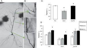 """A) Fotomicrografías de una célula piramidal completa del CA1 del hipocampo. B) Las flechas indican los segmentos estudiados, así como las abreviaturas que representan la entrada de información. En B los segmentos dendríticos a 40X. En las gráficas C y D se indica la media±error estándar del total de espinas/""""m lineal y en los 3 grupos: proestro (Pro), ovariectomizados tratados únicamente con vehículo (OvxV) y ovariectomizados tratados con tibolona (OvxTB). Nótese en la gráfica C las reducciones significativas (*p < 0,005) del grupo OvxV vs. los grupos OvxTB y Pro. En las gráficas de los segmentos en los 3 grupos (D), se indican reducciones significativas (*) entre el segmento c vs. a y b en los grupos Pro y OvxV y entre los segmentos a vs. b y c en el grupo OvxTB. AC: comisurales de asociación; PP: patrón perforante; SC: colaterales de Schaffer."""