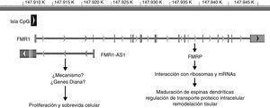 Ubicación genómica y rol de FMR1 y FMR1-AS1. La barra gris representa la posición genómica (en kilobases [K]) de ambos genes en el cromosoma X desde el extremo p-terminal. La caja negra simboliza la isla CpG involucrada en el silenciamiento de ambos genes en la mutación completa. Las flechas ubicadas en esta isla así como en cada gen simbolizan la orientación de la transcripción. Las líneas verticales en FMR1 representan los exones de este gen.