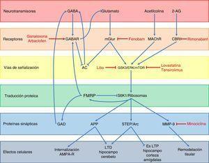 Esquema de la neurobiología de la FMRP y los distintos blancos terapéuticos y fármacos usados en el SXF, según los componentes celulares con los cuales interactúa FMRP. A nivel de receptores, ganaloxona y arbaclofeno son agonistas de los receptores GABA-A y GABA-B, respectivamente; fenobam es un antagonista de los receptores mGluR5, mientras que rimonabant es un antagonista de los receptores endocanabinoides CB1R. Por otra parte, las dianas dentro de las vías de transducción de señales son GSK3, ERK y mTOR, los cuales son inhibidos por el litio, lovastatina y tensirolimus, respectivamente. Finalmente, minociclina inhibe la metaloproteinasa de matriz MMP-9.