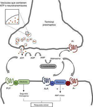 El adenosín trifosfato (ATP), es liberado al espacio sináptico a partir de vesículas presinápticas. El ATP puede interactuar directamente con receptores postsinápticos como P2Y y P2X los cuales están acoplados a proteína G. El ATP puede ser convertido a adenosina gracias a la acción de enzimas como la ectodifosfohidrolasa y la 5 nucleotidasa. La adenosina interactúa con receptores pre- y postsinápticos acoplados a proteína G regulando la adenil ciclasa y la vía del AMP cíclico. Adaptada de: Nestler et al.7.