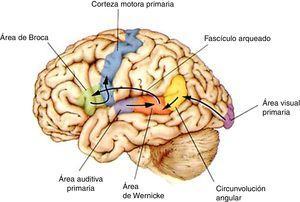 Vías funcionales implicadas en la comprensión, la repetición y la expresión del lenguaje escrito, gestual y oral, según el modelo de Wernicke-Geschwind. Dentro del hemisferio izquierdo la organización del lenguaje sigue unas vías anatómicas elementales para los aspectos básicos de la comprensión, la repetición y la emisión del lenguaje. La recepción de los sonidos se hace en la corteza auditiva, bilateralmente, a nivel de la circunvolución temporal superior (área auditiva primaria), y su descodificación en términos lingüísticos, en la porción posterior de la corteza temporal izquierda (área de Wernicke), que da acceso a otras áreas o redes corticales que asignan un significado a las palabras. La lectura implica que la percepción mediada por el área visual primaria (bilateral), pase a otras áreas asociativas parietooccipitales para el reconocimiento de las palabras y las frases (muy en especial la circunvolución o giro fusiforme izquierdo, en la superficie inferior del lóbulo temporal, donde hay una estación clave en el reconocimiento de las palabras), y que alcance la circunvolución angular que sirve de estación intermodal con la información lingüística auditiva. Tanto para la repetición como para la producción de un lenguaje espontáneo, la información auditiva debe pasar a través del fascículo arqueado hacia la región frontal inferior izquierda (área de Broca), responsable de la producción del lenguaje, aunque se sabe que esta área participa en otras funciones, como la comprensión de las acciones de otras personas (sistema de las neuronas «en espejo»). Para la articulación del habla y/o la producción de la escritura, la información elaborada en el área de Wernicke, área de Broca y zonas asociativas próximas, debe alcanzar finalmente la corteza motora primaria10,11. Adaptada con permiso de Bear et al., 199810.