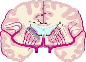 Vascularización de las estructuras periventriculares. Los núcleos de la base y la cápsula blanca interna se encuentran en una región de última pradera (a) entre el territorio de las ramas perforantes (2) de la arteria cerebral media (1) y las ramificaciones de las arterias subependimarias (5). El cuerpo calloso se encuentra irrigado fundamentalmente por arterias callosas cortas (4), dependientes de la arteria pericallosa (3), con carácter de circulación terminal.