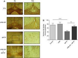 Análisis cuantitativo de células dopaminérgicas inmunopositivas a TH en la SNpc. El panel A muestra las células dopaminérgicas inmunorreactivas a TH de los diferentes grupos de trabajo. El panel B muestra el análisis cuantitativo, los datos representan la media ± desviación estándar de seis experimentos por duplicado. ***p < 0,001, CTL vs. MPTP. **p < 0,01, MPTP vs. URB597 + MPTP.