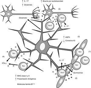 Esquema general de la participación de los astrocitos en la patogénesis de la esclerosis múltiple. (1) Los linfocitos Th1 y Th17 migran por diapédesis a través de la barrera hematoencefálica; (2) los linfocitos Th17 producen IL-17 que induce la producción de quimiocinas por los astrocitos, lo que incrementa el reclutamiento de células inmunes; (3) los astrocitos sobreexpresan AQP4 y disminuyen la expresión de conexina-43; (4) los linfocitos Th1 producen IFN-γ que induce la sobreexpresión de MHC clasei yii en los astrocitos, lo que incrementa la presentación antigénica; (5) los linfocitos Th17 producen IL-17 que induce un incremento de glutamato en la sinapsis neuronal, lo que provoca excitotoxicidad y muerte neuronal. AQP4: acuaporina 4; IFN-γ: interferón gamma; IL-17: interleucina 17; MHC: complejo principal de histocompatibilidad; Th1: linfocitos Th1; Th17: linfocitos Th17.