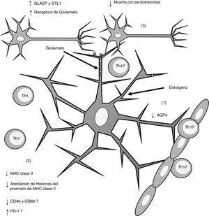 Esquema general de los efectos inducidos por el estrógeno sobre los astrocitos. La administración de estrógeno induce (1) disminución de la expresión de AQP4; (2) disminución en la expresión de MHC claseii, lo que disminuye la presentación antigénica; (3) incremento en la expresión de los receptores de recaptura de glutamato GLAST y GTL1, lo que incrementa la recaptura de glutamato de la sinapsis neuronal y disminuye la muerte neuronal por excitotoxicidad. AQP4: acuaporina 4; CD40: cluster de diferenciación 40; CD86: cluster de diferenciación 86; MHC: complejo principal de histocompatibilidad; PD-1: proteína de muerte programada-1; Th1: linfocitos Th1; Th17: linfocitos Th17.