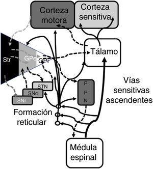 Representación sistemática de las redes motoras directas e indirectas entre los núcleos de la base, el tálamo y la corteza, así como de las vías para el control de la marcha y postura proyectadas desde de los núcleos de la base al PPN y médula espinal. Las fibras ascendentes sensitivas dan información sobre los componentes musculoesqueléticos y activan la formación reticular del tallo cerebral. GPe: globo pálido externo; GPi: globo pálido interno; PPN: núcleo pedunculopontino; SNc: substantca nigra pars compacta; SNr: substancia nigra pars reticulada; STN: núcleo subtalámico; Str: estriado. Modificado de De Andrade et al.73.