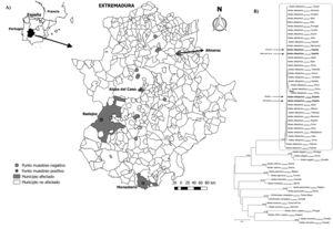 A) Mapa de los puntos de muestreo de las trampas de oviposición en la región de Extremadura y especificación de los municipios positivos en el estudio. B) Análisis filogenético de secuencias parciales que codifican la subunidad I del citocromo oxidasa mitocondrial. Todas las secuencias analizadas se indican con el nombre de la especie de la que se obtuvieron, el número de acceso de GenBank o el código de acceso público de BoldSystems y la región geográfica que representan. En ramas específicas se indican los valores de arranque (como porcentajes de los análisis de remuestreo) del análisis de vecindad o máxima probabilidad (utilizando la notación NJ/ML). Solo se muestran los valores de arranque ≥75%. La barra indica 0,05 sustituciones de nucleótidos por sitio. Las secuencias obtenidas en el curso de este estudio se indican en negrita.
