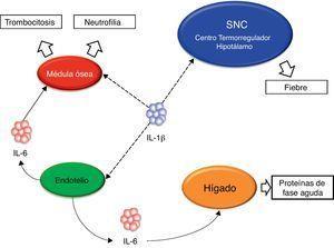 Esquema ilustrativo de algunas de las principales acciones de la IL-1β. SNC: sistema nervioso central; IL-1β: interleucina-1β; IL-6: interleucina-6.