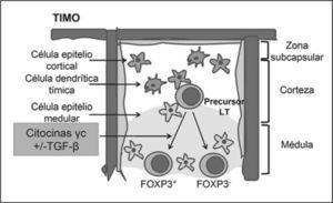 Origen de células Tregs FOXP3+ en el timo. Las células T reguladoras en el timo se generan a partir de un precursor de linfocitos T CD4+ en un proceso que no está completamente dilucidado, pero se conoce que las células del epitelio cortical y medular participan de forma activa en dicha generación. También se ha propuesto que citocinas γc participan en la diferenciación a Tregs. Adaptado de (22).