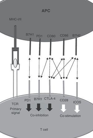 Co-stimulatory and co-inhibitory interactions between members between the Ig superfamily.