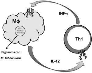 Esquema del eje IL-12/INF-γ durante la respuesta inmunitaria frente al patógeno intracelular Mycobacterium tuberculosis. IL-12: interleucina 12; IL-12Rβ1 y β2 basal: subunidades de receptor para IL-12; INF-γ: interferón gamma; INF-γR1 y INF-γR2: subunidades de receptor para INF-γ; Mf: macrófago; Th1: linfocito T helper tipo 1.