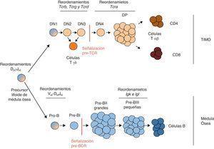 Representación de la maduración de los linfocitos T y B. El diagrama representa los distintos estadios por los que van pasando los precursores de los linfocitos T (tonos tostados) y B (tonos azules) a lo largo de su desarrollo para su maduración3,6. Se especifican los estadios donde ocurren los reordenamientos de las distintas cadenas variables de los receptores de antígeno, así como los momentos donde ocurren las señalizaciones a través del pre-TCR y el pre-BCR.