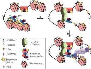 Modelo de interacción física entre Eα y el promotor TEA para la activación de la recombinación VαJα en el gen Tcra. (a) En timocitos DN3, Eα y los promotores TEA y Jα49p están ocupados por FT constitutivos. Las histonas H3 están hiperacetiladas por acción de acetilasas de histonas unidas al enhancer, y los promotores TEA y Jα49p están reprimidos y empaquetados en cromatina silenciada por la marca epigenética H3K9me. (b y c) La interacción entre Eα y un promotor requiere la formación de un puente molecular mediado por los FT unidos a las secuencias reguladoras y facilitado por la unión de CTCF y cohesinas33. La formación de un holocomplejo funcional entre ambas secuencias reguladoras permite el ensamblaje del complejo de la Pol-II en el promotor. La activación de la transcripción conlleva la aparición de nuevas marcas epigenéticas que incluyen H3K27ac en Eα y H3K4me3 en el promotor. El paso del complejo de la Pol-II a través del ADN de los segmentos Jα situados inmediatamente 3' del promotor abre la estructura de la cromatina y permite que las RSS sean permisibles para el reconocimiento de las proteínas RAG-1/2, iniciándose así las recombinaciones VαJα primarias del gen Tcra35,37.