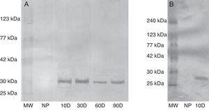 Evaluation of the specificity of rabbit anti-swine EPF polyclonal IgG by western blot. (a) Serum from sow tested for EPF. (b) Serum from rats tested for EPF. MW: molecular weight, NP: not pregnant, 10D: 10 day pregnant, 30D: 30 day pregnant, 60D: 60 day pregnant, and 90D: 90 day pregnant. Results from three independent experiments carried out.