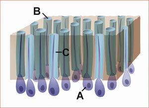 Representación esquemática de la estructura de la dentina con odontoblastos y sus procesos celu- lares (A), los túbulos dentinarios (B) y el licor dentinario (C).