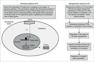Genomic and Nongenomic actions of TH.