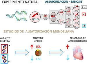 Aleatorización mendeliana: un «experimento» natural. La recombinación y reparto aleatorizado de los genes de ambos progenitores en el proceso de meiosis proporciona un «experimento natural» que permite evaluar el efecto de la «asignación aleatoria» de genes que producen cambios en los niveles de colesterol y su repercusión en la incidencia de cardiopatía isquémica. La demostración de que los sujetos que heredan un gen que condiciona un aumento de c-LDL (* v.gr. variante defectiva del receptor LDL) presentan una mayor frecuencia de enfermedad coronaria ratifica el papel etiológico del colesterol en el desarrollo de arteriosclerosis. Recíprocamente, la herencia de un gen que produce un descenso de c-LDL (# v.gr. variante defectiva de PCSK-9) se asocia con una reducción de la incidencia de enfermedad coronaria.