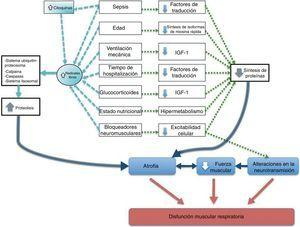 Factores que contribuyen a la disfunción muscular respiratoria del paciente crítico con ventilación mecánica.