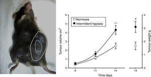 Modelo animal basado en la inyección subcutánea de 106 células de melanoma en ratón (izquierda). Crecimiento y peso tumorales medidos a los 14días significativamente mayores en el grupo de ratones sometidos a hipoxemia intermitente (simulando un SAHS) con respecto al grupo control sometido a normoxia (derecha). Reproducido de Almendros et al.22.