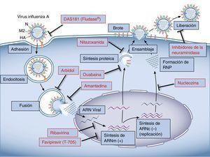 Esquema representativo del ciclo del virus influenza A y sus sitios de acción para los antivirales actualmente utilizados y en estudio.