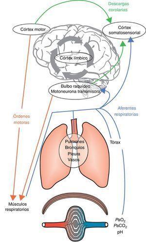 Mecanismos integrantes de la etiología de la disnea. La acción de respirar es consecuencia de órdenes motoras del bulbo raquídeo y del córtex motor. Estas órdenes son integradas a nivel medular y transmitidas a los efectores musculares del aparato respiratorio. La activación subsiguiente de los músculos respiratorios produce una retroalimentación aferente, que se transmite a las fuentes de las órdenes motoras y al córtex somatosensorial. En este punto, la comparación entre la descarga corolaria y la retroalimentación aferente resultante pueden producir un desajuste y la disnea aparecerá cuando los efectos negativos desde el córtex límbico sean atribuidos a este desajuste sensorial, lo que también está influenciado y modulado por la memoria y el entorno predominante.Adaptado con permiso a partir de Laviolette y Laveneziana1.