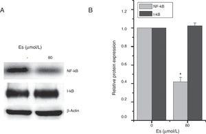 Esculetin attenuates NF-κB pathway in LLC cells. Western blot analysis shows decrease in protein levels of transcription factor NK-κB and unaltered levels of its inhibitor I-κB in LLC cells. Proteins expression in LLC cells with or without Esculetin treatment (24h) was measured by Western blot (A). The relative protein level was normalized with β-actin and the quantitative data were represented as bar graph (B). Data were expressed as mean±S.E.M. *P<.05.