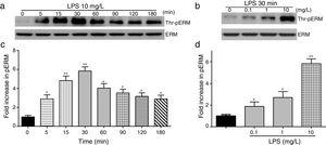LPS induces dose and time-dependent changes in threonine phosphorylation of ERM in PMVECs. (a) Time-dependent changes in threonine phosphorylation of ERM induced by 10mg/L LPS and relative expressions from the Western Blotting (c). (b) Dose-dependent changes in threonine phosphorylation of ERM following LPS treatment for 30min and relative expressions from the Western Blotting (d). Data were presented as the mean±SD. N=6, *P<0.05, **P<0.01 vs. untreated control or the beginning time.