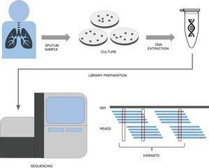 A simplified workflow for WGS in tuberculosis. After sample collection from the patient, usually a sputum, bacteria are cultured in plates during 3–4 weeks until their number is sufficient enough to obtain a good amount of DNA through extraction. This DNA then undergoes a library preparation protocol until it is ready for the Illumina sequencing platform of choice. The final bioinformatic analysis usually consists on mapping the obtained reads to a reference sequence and calling variants. If these variants are present in resistance databases, predictions are generated for the isolate.
