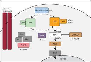Cascada RAS-MAPK. La unión de un factor de crecimiento a un receptor de tirosincinasa activa efectores intracelulares como SHP2, que a su vez reclutan intercambiadores de guaninas como SOS1, que promueven el intercambio GDP/GTP en las proteínas RAS, las cuales se activan por fosforilación. RAS-GTP activa consecuentemente las distintas isoformas de RAF (RAF1, BRAF), MEK (MEK1, MEK2) y, por último, ERK.