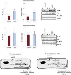 Activación del eje Akt/óxido nítrico sintasa endotelial en la arteria coronaria de animales con alimentación hipercolesterolémica y normocolesterolémica e imágenes representativas de Western blot. Diagrama que ilustra los mecanismos involucrados en la activación de óxido nítrico sintasa endotelial y la posterior liberación de óxido nítrico y el grado de expresión del eje Akt/óxido nítrico sintasa endotelial en animales con alimentación hipercolesterolémica (con y sin Pomanox®), tomando como 100% el valor de los animales sanos con alimentación ordinaria (controles normocolesterolémicos; n=6 animales por grupo). eNOS: óxido nítrico sintasa endotelial; POX: Pomanox®. ap < 0,05 frente a animales con alimentación normocolesterolémica. bp < 0,05 frente a animales con alimentación hipercolesterolémica.