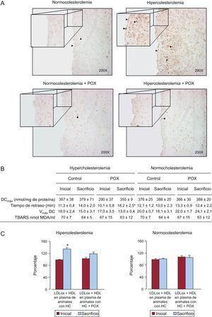 Potencial antioxidante de Pomanox®. A: daño oxidativo del ADN coronario evaluado mediante 8-OH-dG. La suplementación con Pomanox® previno el estrés oxidativo vascular inducido por la hiperlipemia tanto en las células endoteliales como en la íntima (puntas de flecha). Estas imágenes representativas reflejan perfectamente lo que se observó de manera constante en los diferentes grupos de animales. B: oxidación de partículas de lipoproteínas de baja densidad. C: potencial antioxidante de las lipoproteínas de alta densidad, expresado como porcentaje de la oxidación de lipoproteínas de baja densidad (lipoproteínas de baja densidad de control oxidadas ≈ 100%) (n=6 animales por grupo). DCmáx: concentración máxima de dienos conjugados; HC: hipercolesterolémica; HDL: lipoproteínas de alta densidad; LDL: lipoproteínas de baja densidad; LDLox; lipoproteínas de baja densidad oxidadas; POX: Pomanox®; TBARS: sustancias reactivas al ácido tiobarbitúrico; Vmáx DC: velocidad máxima de formación de dienos conjugados. *p < 0,05 frente al valor inicial.