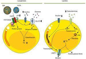Esquema que ilustra los procesos de lipogénesis y lipolisis que se llevan a cabo en los adipocitos maduros. Después de una comida y un aumento de insulina en sangre, esta activa la lipogénesis en los adipocitos. En este proceso el adipocito, por medio de la lipoproteinlipasa, degrada los triglicéridos de los quilomicrones y de las lipoproteínas de muy baja densidad a ácidos grasos. Estos entran en el adipocito para ser esterificados con el glicerol-3 fosfato y sintetizar así los triglicéridos que se almacenarán en la vacuola lipídica. En el adipocito, la insulina no solo estimula la síntesis de lipoproteinlipasa, sino que también estimula la captación y el metabolismo de la glucosa a glicerol-3 fosfato. Contrariamente, durante la lipolisis los triglicéridos almacenados son movilizados para producir ácidos grasos libres y glicerol para cubrir las necesidades energéticas del organismo. Mediante hormonas catabólicas, secretadas en respuesta a baja concentración sanguínea de glucosa, se activa la síntesis y la movilización de la lipasa sensible a hormonas del citosol a la superficie de la vacuola lipídica, donde podrá hidrolizar los triglicéridos. Los ácidos grasos producidos son secretados como ácidos grasos libres a la circulación, donde serán transportados por la albúmina hasta los órganos de destino, donde serán oxidados para producir energía. Igualmente, el glicerol derivado de la lipolisis también es liberado a la circulación para ser utilizado por el hígado como fuente de carbono. AQP7: acuaporina-7; FABP: proteína de unión a los ácidos grasos; FAT/CD36: receptor translocador de ácidos grasos; FATP: proteína transportadora de ácidos grasos; GLUT4: proteína transportadora de glucosa 4; HSL: lipasa sensible a hormonas; LPL: lipoproteinlipasa; QM: quilomicrones; TG: triglicéridos; VLDL: lipoproteínas de muy baja densidad.