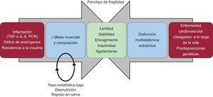 Dos de las vías que conducen a la fragilidad. Los cambios biológicos basales asociados a la edad, combinados con la enfermedad subclínica del «desgaste» a largo plazo, dan lugar a los signos y síntomas del fenotipo de fragilidad. Adaptada con permiso de Afilalo et al7.