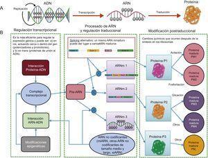 Transcripción y traducción. A: según dogma central de la biología, en el que un gen daba lugar a una sola proteína. B: visión más moderna, que incluye varios elementos reguladores adicionales que hacen que un mismo gen pueda dar lugar a varias proteínas. ARNm: ARN mensajero; miARN: microARN; PM: proteína madura; Pre–ARN: ARN precursor; siARN: ARN de silenciamiento.