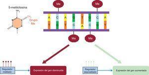 Metilación de ADN y resultado en la expresión génica. Me: metilo.