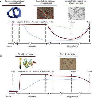 Dinámica del daño microvascular, la angiogénesis inducida por el suero coronario y la concentración de FIH-1A en el proceso de isquemia y reperfusión tras el infarto de miocardio. A: en el infarto de miocardio con reperfusión, la pérdida de la densidad microvascular precedió a la aparición de la obstrucción microvascular (antes de la reperfusión), tras lo cual ambos fenómenos se recuperaron en paralelo con un restablecimiento casi completo 1 mes después de la reperfusión; además, el suero coronario ejerce poco después de la isquemia una potente acción compensatoria destinada a restablecer la perfusión en el área del infarto. B: la dinámica del FIH-1A circulante aumenta drásticamente durante la isquemia y la reperfusión, y en paralelo al efecto proangiogénico del suero coronario en las células endoteliales coronarias; pasa un tiempo antes de que se produzca la regulación miocárdica positiva 1 semana después de la reperfusión. FIH-1A: factor inducible por hipoxia-1A.