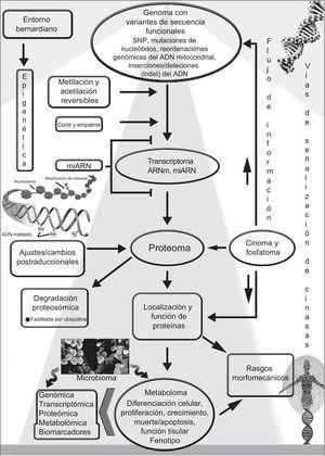 El genoma integra señales intrínsecas y ambientales. Los factores reguladores epigenéticos y ambientales bernardianos influyen a través del flujo de información (bidireccional) y las vías de señalización en la transición y expresión de los genes humanos, mientras que la cantidad de proteínas y sus funciones se ven afectadas por diversos ajustes postraduccionales. Dado que los estados epigenéticos son reversibles, pueden modificarse por factores ambientales que pueden contribuir a cambios modificables entre los fenotipos normales y anormales. s posible que la interferencia en la actividad de factores que modifican el estado de la cromatina afecte a la expresión de variantes génicas no deseadas. El organismo humano es de hecho un «supraorganismo», es decir, una mezcla de genes y rasgos humanos y del microbioma, incluido el metaboloma. La relación entre los diferentes componentes «-oma/-ómicos», la cantidad de proteínas, la modificación postraduccional y la localización y la actividad de las proteínas que afectan a los rasgos fenotípicos, se muestra de manera esquemática en este cuadro general. ARNm:ARN mensajero; miARN:microARN. Reproducido de Pasipoularides2, con permiso de International Journal of Cardiology y Elsevier.