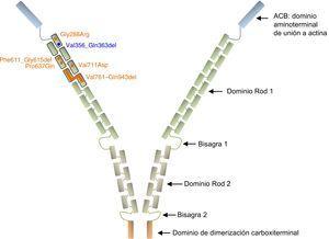 Representación esquemática de la proteína filamina A. Las variantes no sinónimas se representan en forma de círculos y las deleciones intragénicas, como barras. Todos los cambios descritos en la DVCX se indican en naranja, excepto el descrito en este artículo, que se muestra en azul. Obsérvese que todas las alteraciones están agrupadas en las primeras 7 repeticiones de tipo Ig del dominio Rod 1 de la proteína. Las referencias relativas a cada variante se citan en el texto. Esta figura se muestra a todo color solo en la versión electrónica del artículo.
