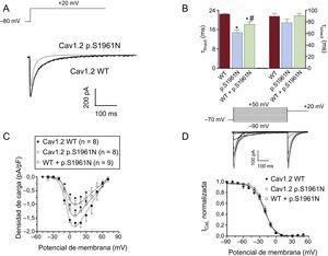 A: trazos de corriente superpuestos generados a +20mV por los canales Cav1.2 WT o p.S1961N. B: constantes de tiempo rápida y lenta de la inactivación obtenida a +20mV en células que expresan canales Cav1.2 WT, p.S1961N o WT+p.S1961N. C: carga estimada como la integral de los trazos de corriente registrados en función del potencial de membrana en los 3 grupos. D: arriba, corrientes generadas por los canales Cav1.2 WT utilizando el protocolo descrito; abajo, curvas de inactivación para los canales Cav1.2 WT, p.S1961N o WT+p.S1961N; cada línea/punto representa la media ± error estándar de la media de 8 o más experimentos. En B y C, *p < 0,05 frente a Cav1.2 WT. WT: forma nativa del canal.