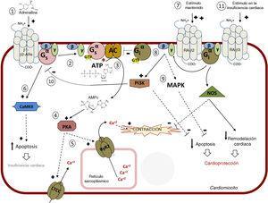 Vía intracelular mediada por receptores adrenérgicos β (RA-β). 1. Vía principal: las catecolaminas se unen a los RA-β e inducen el acoplamiento a la proteína Gs heterotrimérica. 2. Disociación de la subunidad Gαs-GTP y activación de la adenilil ciclasa (AC). 3. Síntesis de monofosfato de adenosina cíclico (AMPc). 4. Activación de la proteincinasa A (PKA). 5. Fosforilación coordinada por la PKA de varias dianas, como el canal de calcio de tipo L (CCTL) de la membrana plasmática o el canal de calcio RyR2 del retículo sarcoplásmico; el resultado es un aumento de la concentración citosólica de Ca2+ disponible para la contracción del músculo cardiaco. 6. La estimulación continua (tal como se describe en la insuficiencia cardiaca crónica) del RA-β1 induce la apoptosis por medio de la proteincinasa II dependiente de Ca2+/calmodulina (CaMKII) causante de apoptosis y afección cardiaca. 7. La estimulación continua de β2 (aumentada cuando se utilizan bloqueadores β1 selectivos) induce el acoplamiento a la proteína Gi. 8. La AC es inhibida por la subunidad Gα-GTP de Gi. 9. La subunidad Gβγ de Gi induce tanto la inhibición de la apoptosis (por medio de la estimulación de proteincinasas activadas por mitógenos [MAPK] como la vía del fosfatidilinositol 3-cinasa [PI3K]-proteincinasa B y los efectos deletéreos mediados por Gs (10), que llevan a la cardioprotección. 11. En la insuficiencia cardiaca, la estimulación del RA-β podría conducir a cardioprotección y a una reducción del remodelado cardiaco por medio de la activación de la sintasa del óxido nítrico (NOS). Adaptado con permiso de Watson et al.37.