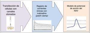 Representación de las 3 fases del estudio de investigación básica que sustenta el proyecto BRAKE-AF. NAV: nódulo auriculoventricular.
