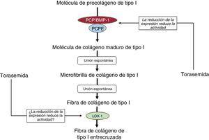 Efectos inhibidores propuestos para la torasemida en los pasos en los que intervienen enzimas del proceso extracelular que lleva a la generación de fibras de colágeno de tipo I. LOX-1: lisil oxidasa 1; PCP/BMP-1: procolágeno C-proteinasa/proteína morfogenética ósea 1; PCPE-1: potenciador del procolágeno C-proteinasa 1.