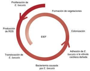 Fisiopatología de la EIEF con puerta de entrada intestinal. E.faecalis:Enterococcus faecalis; EIEF: endocarditis infecciosa causada por E.faecalis; ROS:especies reactivas de oxígeno.