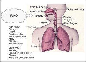 FeNO levels in relation to factors affecting FeNO in healthy and asthmatic subjects.
