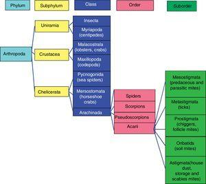 Taxonomy of mites. Observe the close relationship between house dust, storage, and Sarcoptes mites.