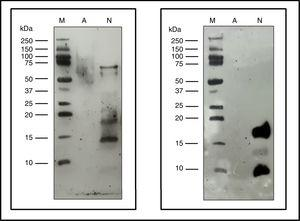 Immunoblotting assays. Precision Plus Protein™ Western C™ (M), Native cat dander extract (N), Allergoid cat dander extract (A). 50μg extract/lane. Left: pool of sera from patients sensitized to Felis domesticus (p56) as a primary antibody. Right: monoclonal antibody α- Fel d 1 6F9 as a primary antibody.