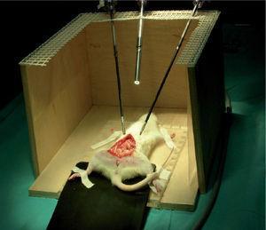 Rata Wistar introducida en el entrenador pélvico para cirugía endoscópica.