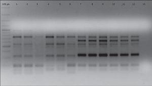 ERIC-PCR electrophoretic patterns of strains AC11 and HP12 and their isogenic strains derived after five successive i.p. passages. Lines 1, 2, 3, 4, 5, 6: strain AC11 P0, P1, P2, P3, P4, P5, respectively. Lines 7, 8, 9, 10, 11, 12: strain HP12 P0, P1, P2, P3, P4, P5, respectively. Line 13: negative control.